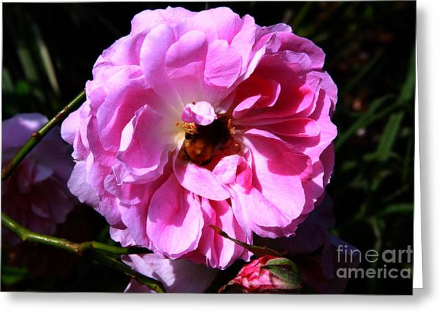 Pink Flower Prints Greeting Cards - Wild Pink Rose Greeting Card by Aidan Moran