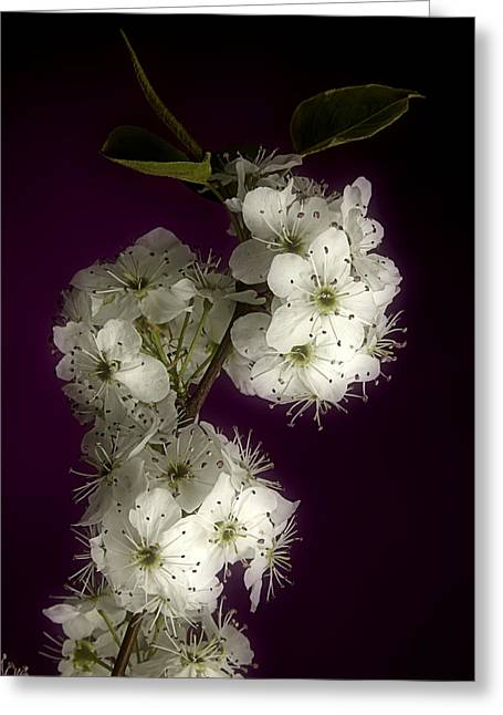 Plant Stretched Canvas Greeting Cards - Wild Plum Blooms Greeting Card by M K  Miller