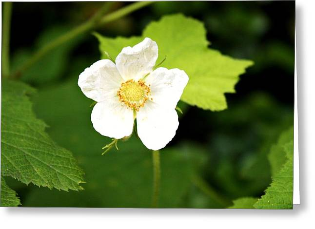 Decor Photography Greeting Cards - Wild Rose Greeting Card by Cathie Tyler