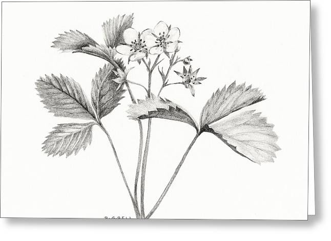Strawberry Drawings Greeting Cards - Wild Strawberry Drawing Greeting Card by Betsy Gray