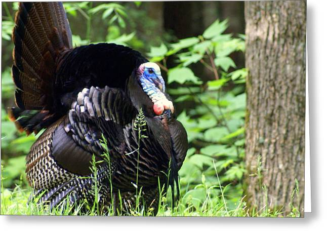 Marty Koch Photographs Greeting Cards - Wild Turkey 2 Greeting Card by Marty Koch