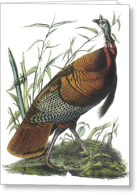 Turkey Greeting Cards - Wild Turkey Greeting Card by John James Audubon