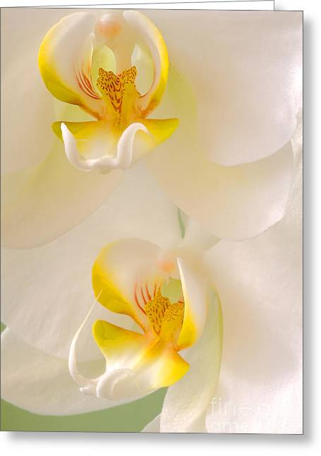 White Orchid Greeting Cards - Wild White Orchids Greeting Card by Naman Imagery
