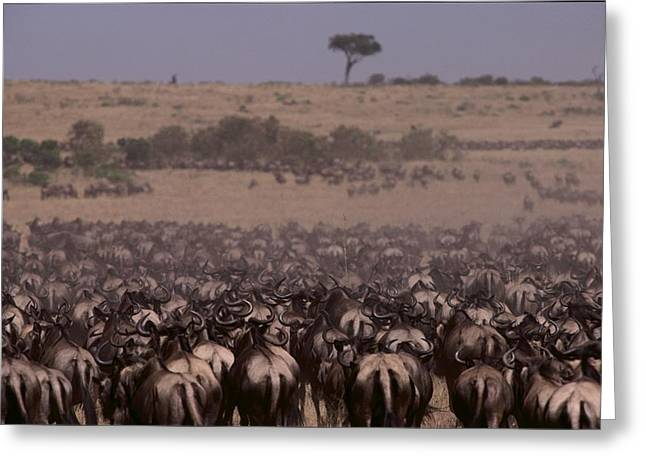 Reserve Greeting Cards - Wildebeest On The Move In The Early Greeting Card by Medford Taylor
