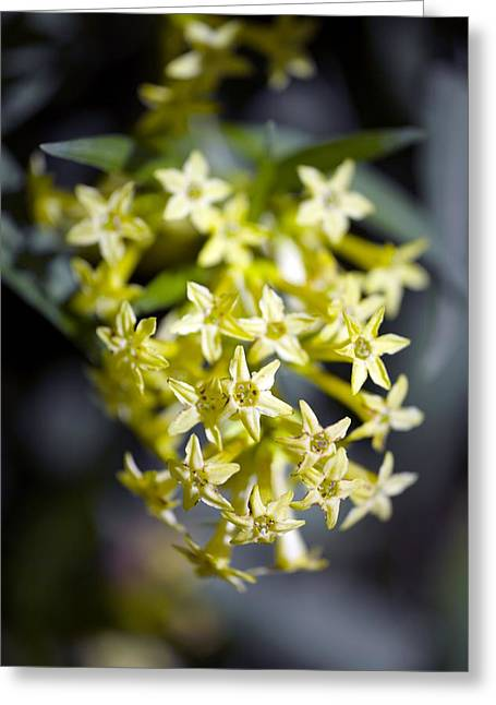Jessamine Greeting Cards - Willow-leaved Jessamine (cestrum Parqui) Greeting Card by Dr Keith Wheeler