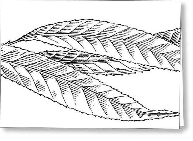 Linocut Greeting Cards - Willow Leaves, Woodcut Greeting Card by Gary Hincks