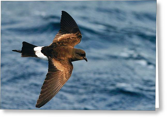 Sea Birds Greeting Cards - Wilsons Storm-Petrel Greeting Card by Tony Beck