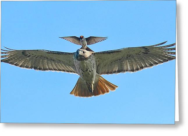 Eastern Kingbird Greeting Cards - Wind Beneath My Wings Greeting Card by William Jobes