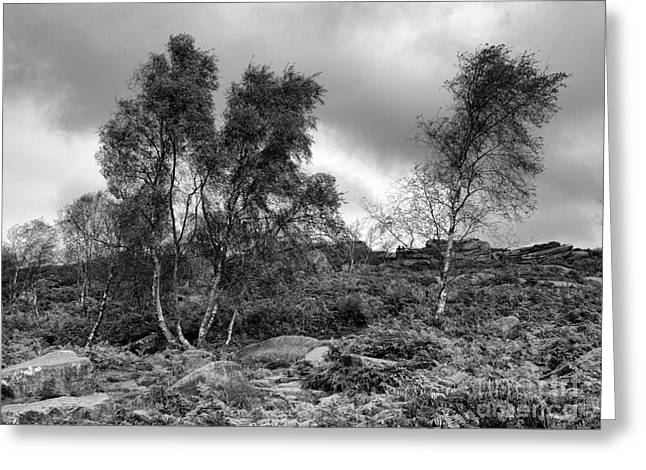 Www.picsl8.co.uk Greeting Cards - Windswept Birch trees Greeting Card by Steev Stamford