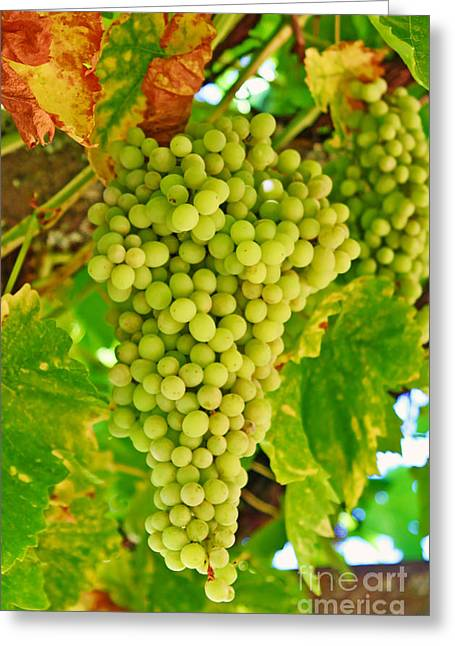 Wine Grapes Greeting Cards - Wine Grapes in California Greeting Card by Paul Topp