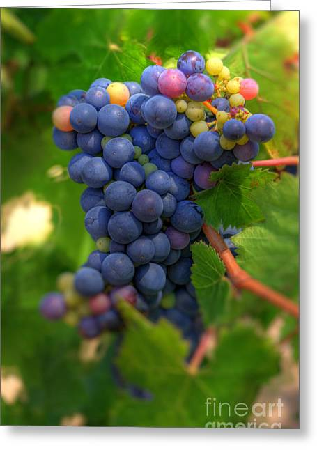 Grape Vineyards Greeting Cards - Wine Grapes Greeting Card by Kelly Wade