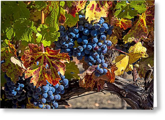 Grapevines Greeting Cards - Wine grapes Napa Valley Greeting Card by Garry Gay