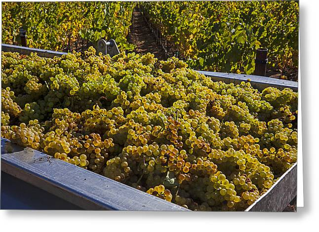 Grape Vineyard Greeting Cards - Wine harvest Greeting Card by Garry Gay