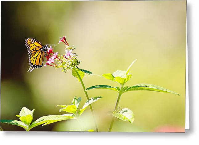 Monarch Greeting Cards - Winglight Greeting Card by Joel Olives