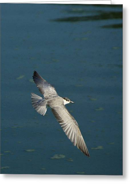 Tern Greeting Cards - Wings Over Water Greeting Card by Michele Burgess