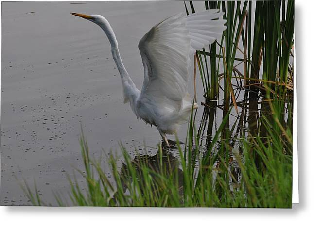 Wings Up Egret Taking Off - C3510a Greeting Card by Paul Lyndon Phillips