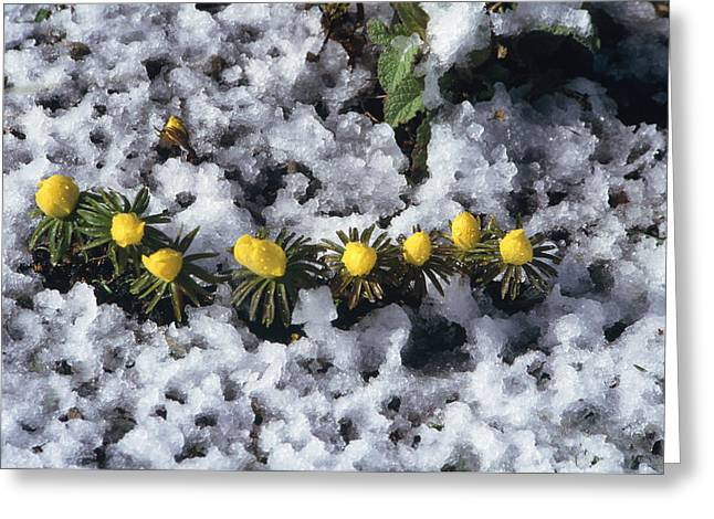Winter Aconite (eranthis Cilicica) Greeting Card by Archie Young