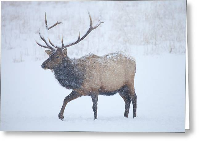 Snowstorm Greeting Cards - Winter Bull Greeting Card by Mike  Dawson