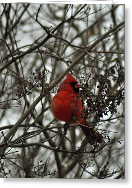 Male Northern Cardinal Greeting Cards - Winter Cardinal 1 Greeting Card by Maria Suhr