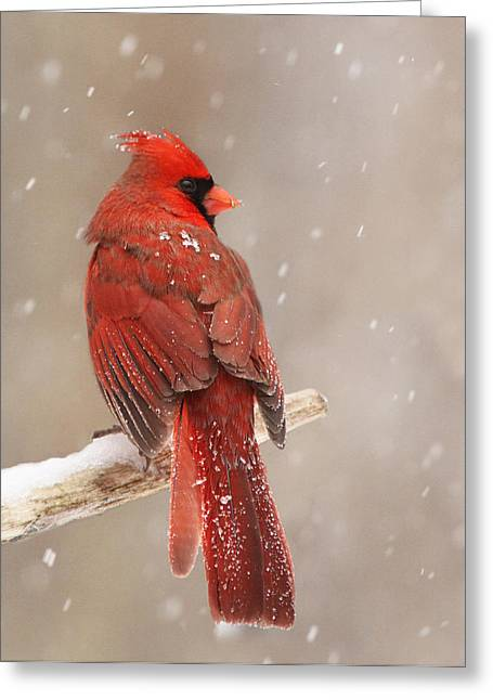Winter Storm Greeting Cards - Winter Cardinal  Greeting Card by Mircea Costina Photography