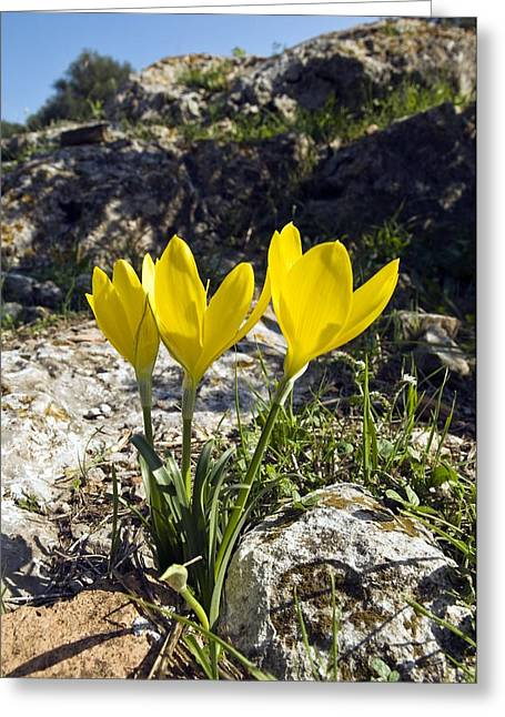 Field Rocks Greeting Cards - Winter Daffodils (sternbergia Lutea) Greeting Card by Paul Harcourt Davies