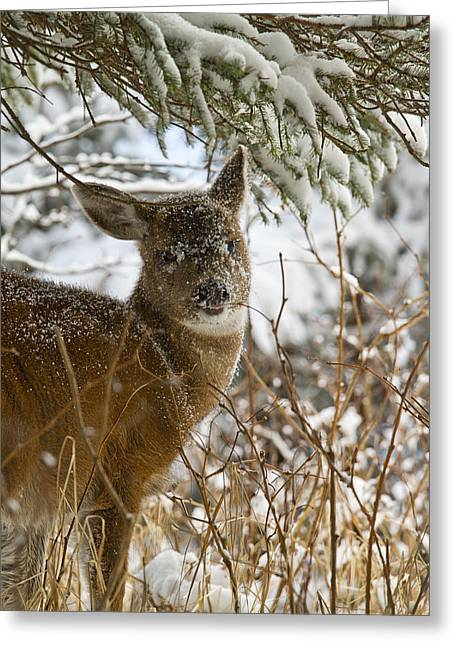 Kodiak Greeting Cards - Winter Dining for a Black-Tailed Deer Greeting Card by Tim Grams
