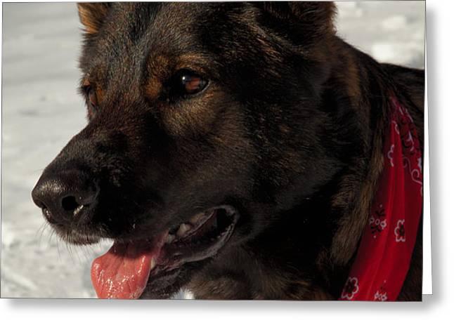 Winter Dog Greeting Card by Karol  Livote