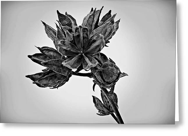 Rose Of Sharon Greeting Cards - Winter Dormant Rose of Sharon - BW Greeting Card by David Dehner