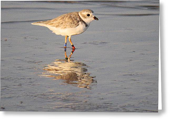 Winter Piping Plover Banded 2 Greeting Card by Roena King