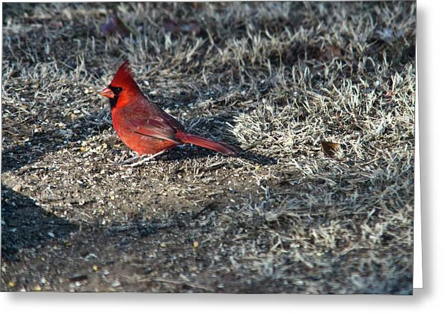 Winter Redbird Greeting Card by Douglas Barnett