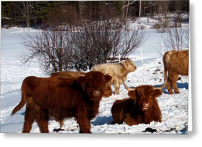 Framed Prints Greeting Cards - Winter Steer  Greeting Card by The Kepharts