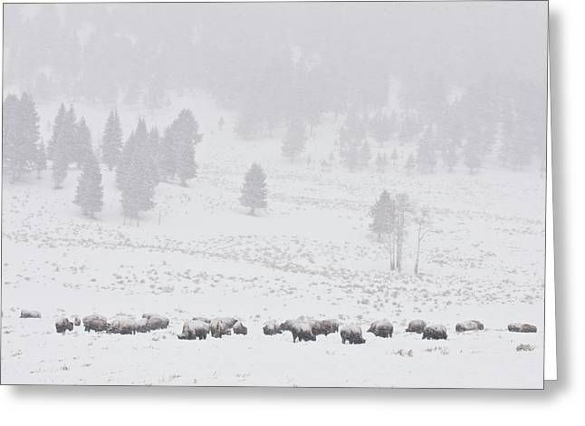 Buffalo Extinction Greeting Cards - Winter Storm Greeting Card by D Robert Franz