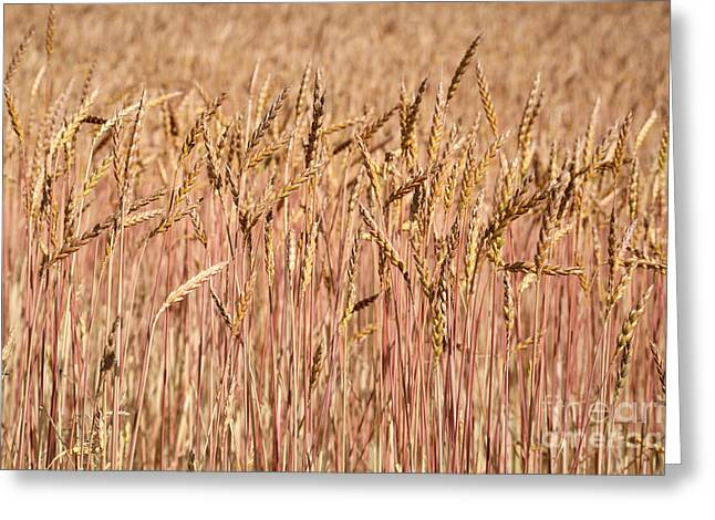 Winter Wheat Greeting Cards - Winter Wheat Greeting Card by Ted Kinsman