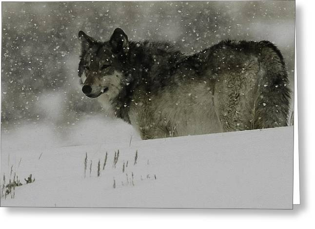 Winter Wolf #1 Greeting Card by Kenneth McElroy