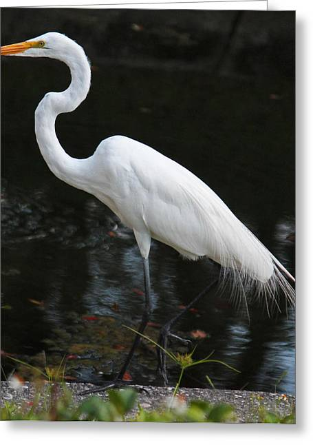 Becky Greeting Cards - Wispy feathers of a white heron Greeting Card by Becky Lodes