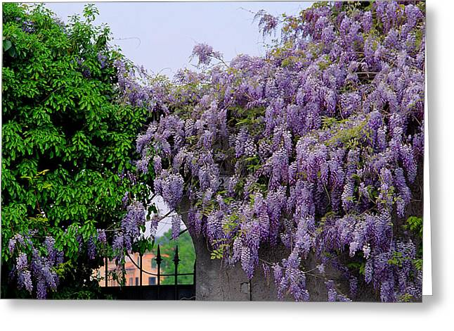 Wisteria In Bloom Greeting Cards - Wisteria and Gate in Verona Italy Greeting Card by Greg Matchick