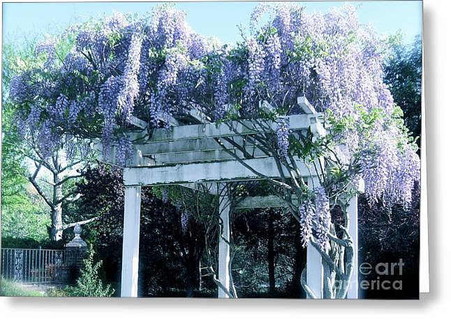 Wisteria In Bloom Greeting Cards - Wisteria in Bloom  Greeting Card by Nancy Patterson