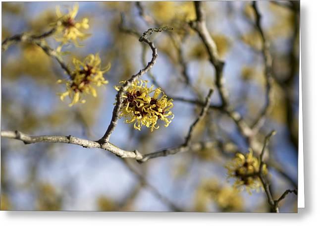 Witch Hazel (hamamelis Mollis) Flowers Greeting Card by Adrian Bicker
