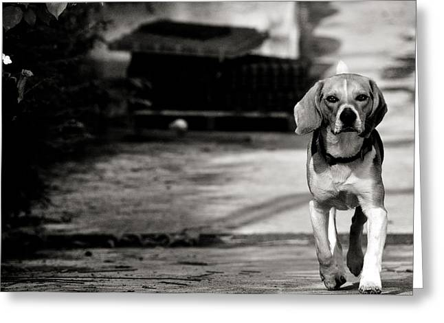 Dog Trots Photographs Greeting Cards - With no fear Greeting Card by Laura Melis