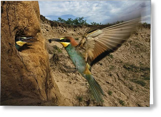 Flying Animal Greeting Cards - Within The Nesting Hole, A Bee Eater Greeting Card by Joe Petersburger