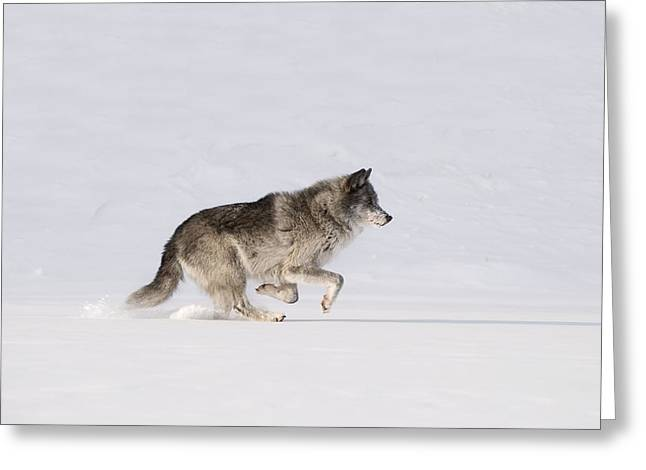 Canadian Prairies Greeting Cards - Wolf Running In The Snow Greeting Card by Philippe Widling