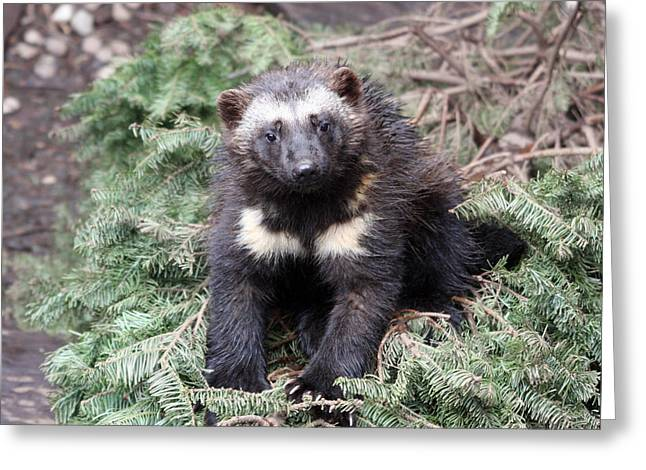 S And S Photo Greeting Cards - Wolverine - Kit - 0009 Greeting Card by S and S Photo