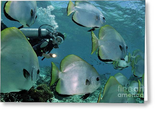 Undersea Photography Greeting Cards - Woman diving with School of Batfish Greeting Card by Sami Sarkis