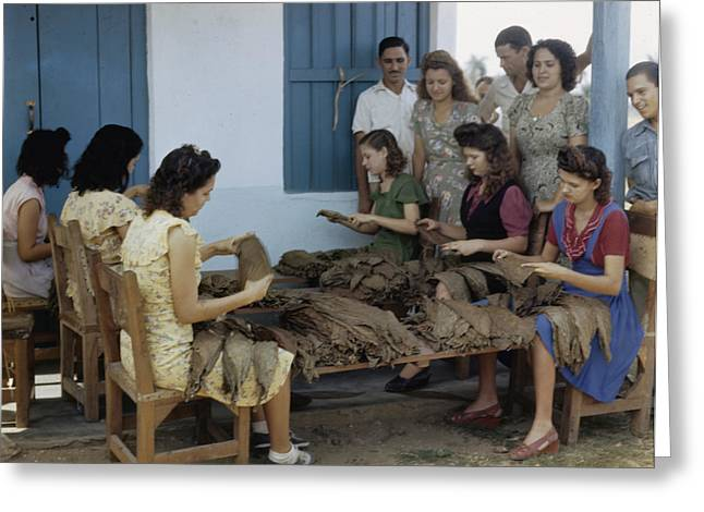 Informal Portraits Greeting Cards - Women Inspect Tobacco Leaves And Select Greeting Card by Melville B. Grosvenor