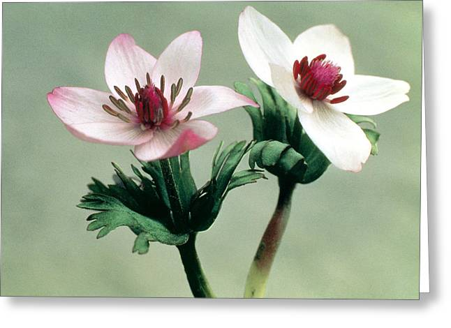 Up Close Flowers Greeting Cards - Wood Anemone Greeting Card by American School