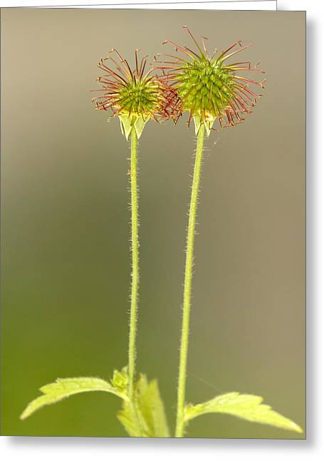 Avens Greeting Cards - Wood Avens (geum Urbanum) Greeting Card by Bob Gibbons