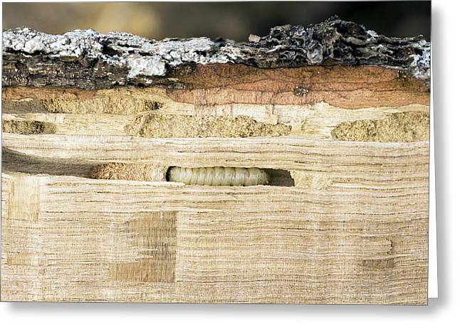 Wood-boring Insect Larva Greeting Card by Jeremy Walker