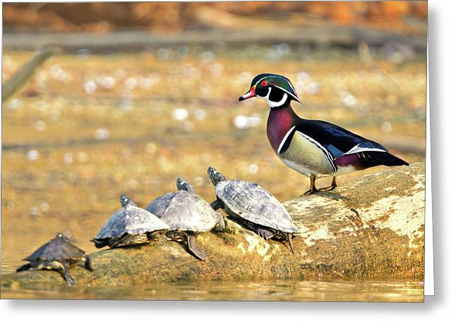 Wood Turtle Greeting Cards - Wood Duck and Four Friends Greeting Card by Steven Llorca