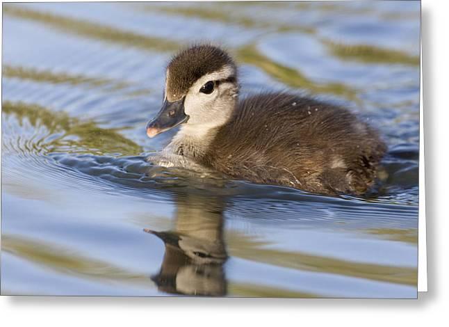 Baby Bird Greeting Cards - Wood Duck Duckling Swimming Santa Cruz Greeting Card by Sebastian Kennerknecht