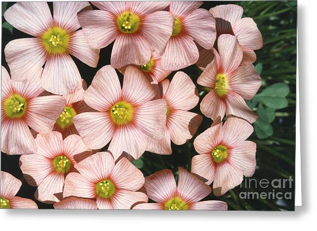 Wood Sorrel Greeting Card by Science Source